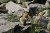 Sperophilus lateralis, Golden-moantled Ground Squirrel, Lake Mary, Brighton, UT.