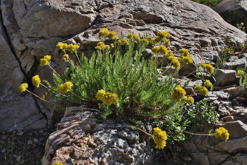 Ivesia gordonii, Gordon's Mousetail, Secret Lake Trail, Alta, UT.
