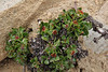 Eriogonum umbellatum, Sulphur Buckweat in bud, Bald Mountain Trail 3600m, E of Oakley, UT.