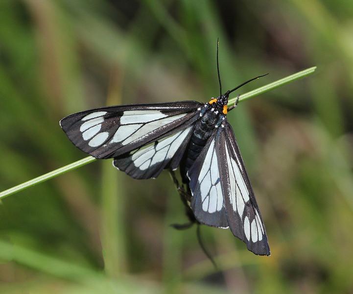 Gnophaela vermiculata, Police Car Moth, Mount Timpanogos Trail. (I.D. by Martin van der Donk).
