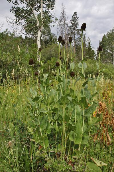 Rudbeckia occidentalis, Western coneflower.