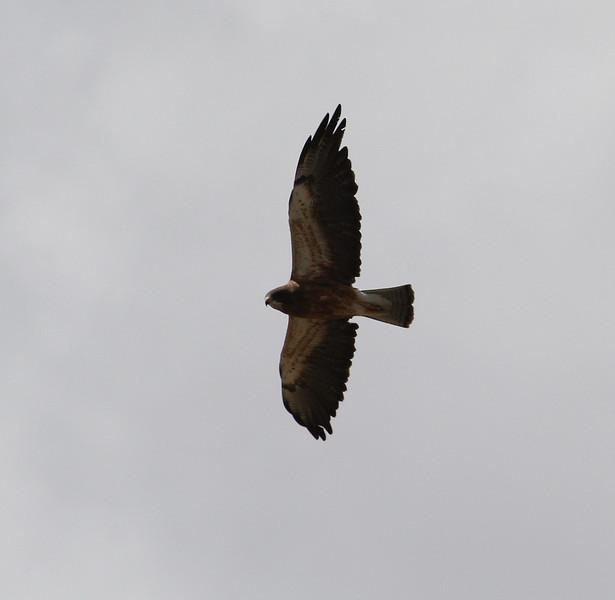 Buteo cf. regalis, possible Ferruginous Hawk. Rand,  Arapaho National Forest, CO