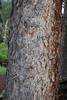 bark of Picea engelmannii
