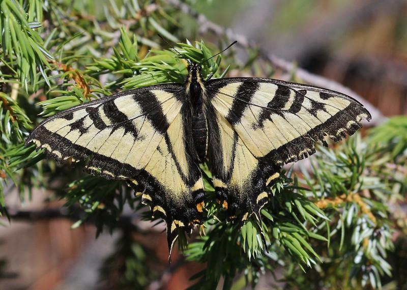 Papilio multicaudata, Two-Tailed Swallowtail