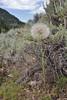 Tragopogon dubius,  Yellow Salsify, syn. Goatsbeard in seed, Native to Europe, Wasatch Range