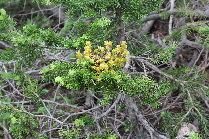 witches'-broom in Picea lasiocarpa, Balt Mountain Trail near Big Elk Lake, Wasatch-Cache Natural Forest, UT.