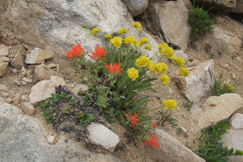 Ivesia gordonii and Castilleja applegatei, Gordon's Mousetail and Applegates Paintbrush, Bald Mountain Trail, E of Oakley, UT.