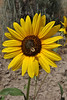Helianthus annuus, Common Sunflower, near  Craig, CO.