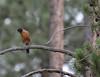 Turdus migratorius, American Robin. Campground Yellow Pine