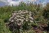 Aster cf. foliaceus, Leafy Aster. E of Alpine, UT.