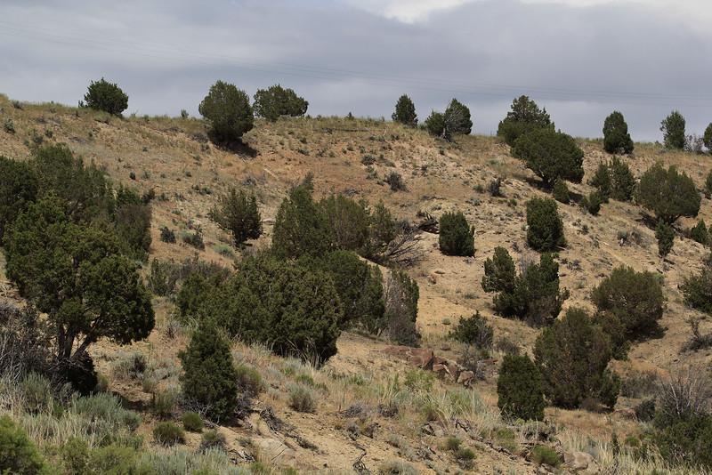 Juniperus scopulorum, Rocky Mountain Juniper near  Craig, CO.