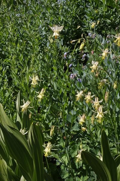 Aquilegia flavescens, Yellow Columbine, Secret Lake Trail, Alta, UT.
