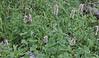 Gnophaela vermiculata on Agastache urticifolia, Police Car Moth on Nettleleaf Horsemint.