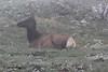 Cervus elaphus, female Elk near Gore Range 3700m