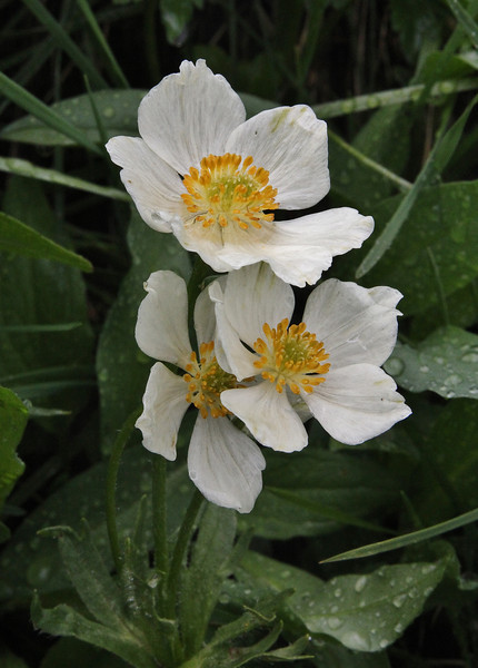 Anemone narcissiflora var. zephyra, Narcissus-flowered anemone along Old Fall River Road
