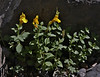 Mumulus guttatus, Common Monkeyflower. Mount Timpanogos Trail.