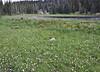 Bistorta bistortoides, (syn. Polygonum bistortoides, Balt Mountain Trail near Big Elk Lake, Wasatch-Cache Natural Forest, UT.