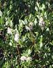 Salix ? bebbiana, Bebb Willow, Lake Mary, Brighton, UT.