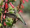 Selasphorus platycercus on Penstemon eatonii,     Female Broad-tailed Hummingbird on Firecracker Penstemon. E of Alpine, UT.