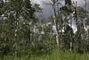 Populus tremuloides, Quaking Aspen.