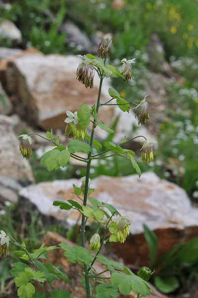Thalictrum occidentale, male plant, Secret Lake Trail, Alta, UT.