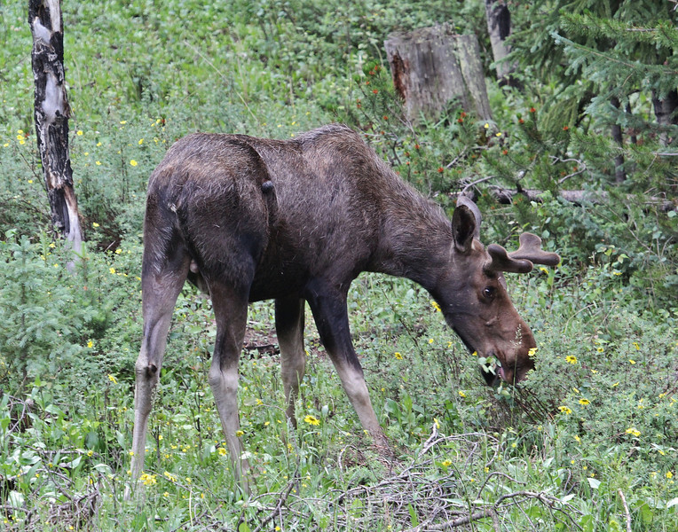 Alces alces, young male Moose.