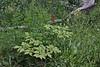 Actaea rubra, Baneberry. Mount Timpanogos Trail.