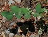 Mahonia repens, Oregon Grape. Mount Timpanogos Trail.