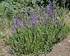 Penstemon cf. cyaneus, Blue Penstemon. Catherine Pass Trail, Brighton, UT.