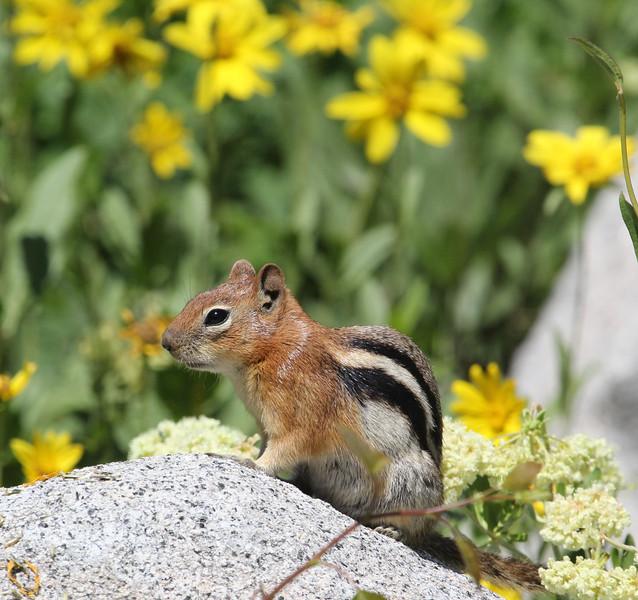 Spermophilus lateralis, Golden-mantled Ground Squirrel, Catherine Pass Trail, Brighton, UT.