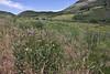 Iliamna rivularis, Mountain Hollyhock, Wasatch Range
