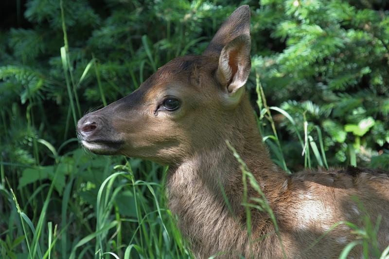 Cervus elaphus, calf Elk