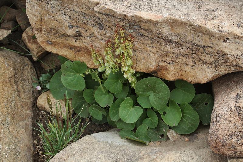 Oxyria digyna, Mountain Sorrel, Bald Mountain Trail, E of Oakley, UT.