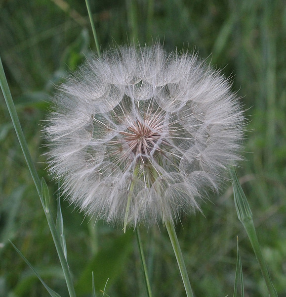 Tragopogon dubius,  Yellow Salsify, syn. Goatsbeard in seed. Native to the old-world.