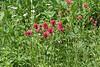 Castilleja cf. miniata, Scarlet Paintbrush. Secret Lake Trail, Alta, UT.