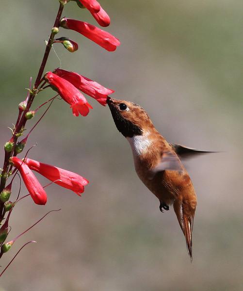 Selasphorus rufus on Penstemon eatonii, male Rufous Hummingbird on Firecracker Penstemon, E of Alpine, UT.