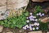 Oxyria digyna, Mountain Sorrel and Townsendia parryi, Parry's Townsendia, Bald Mountain Trail, E of Oakley, UT.