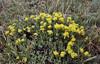 Eriogonum arcuatum var. arcuatum. (Syn. Eriogonum jamesii var. flavescens) along Old Fall River Road