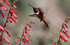 Selasphorus rufus on Penstemon eatonii, male Rufous Hummingbird on Firecracker Penstemon