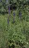 Delphinium glaucum, Tall mountain Larkspur. Mount Timpanogos Trail.
