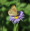 Speyeria spec., Fritillary spec., Catherine Pass Trail, Brighton, UT.