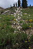 Ipomopsis tenuituba, Scarlet Gilia. Secret Lake Trail, Alta, UT.