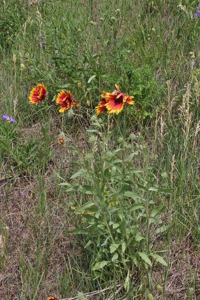 Gaillardia aristata, Blanketflower. E of Alpine, UT.