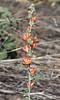 Sphaeralcea munroana, Munro's Globemallow near Dinosaur, CO.