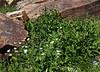 Geranium richardsonii and Rudbeckia occidentalis. White Geranium and Western Coneflower. Secret Lake Trail, Alta, UT.