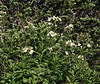 Polemonium foliosissimum, Towerig Jacob's- Ladder , Secret Lake Trail, Alta, UT.