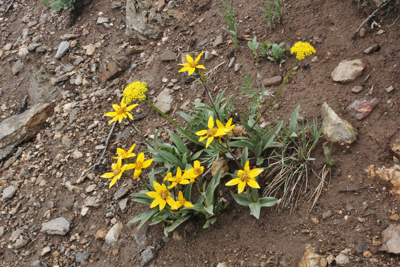 Arnica mollis ?, along Old Fall River Road