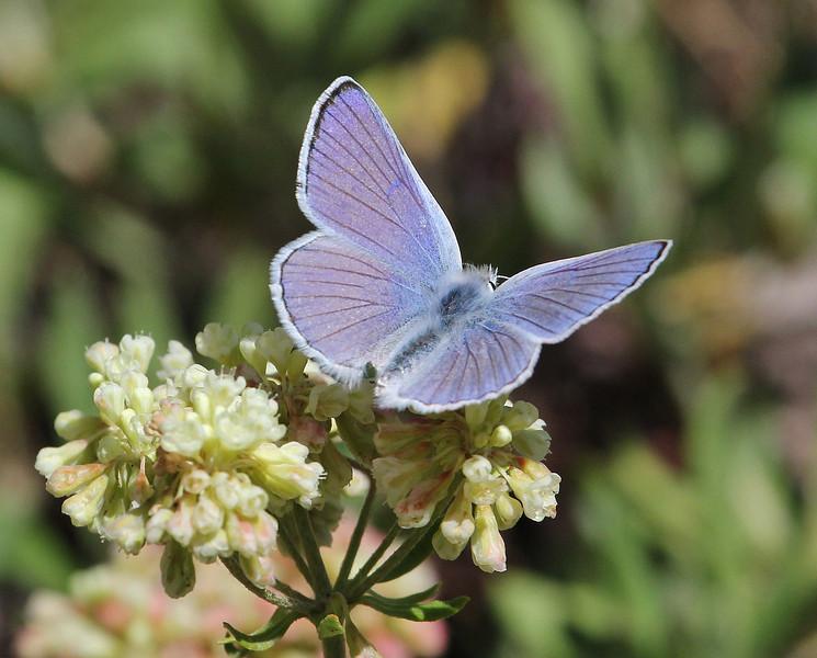 Lycaena heteronea, Blue Copper, Catherine Pass Trail, Brighton, UT.