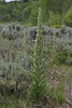 Frasera speciosa, Monument Plant, Wasatch Range