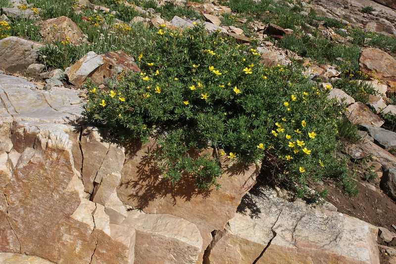 Potentilla fruticosa, (syn. Pentaphylloides fruticosa), Shrubby Cinquefoil. Secret Lake Trail, Alta, UT.